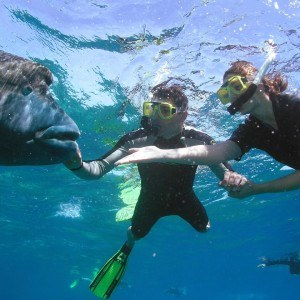 Great Barrier Reef Snorkelling with Wally the Giant Maori Wrasse