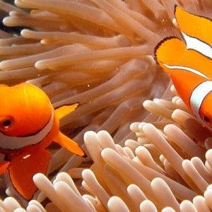 clownfish with corals